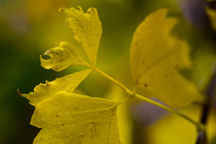 Yellow Leaves - 24 x 36 giclée on canvas (unmounted) by Tanner Young