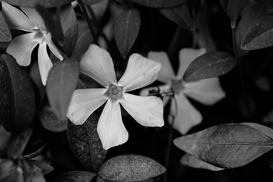 Vinca major - 20 x 30 lustre print by Tanner Young