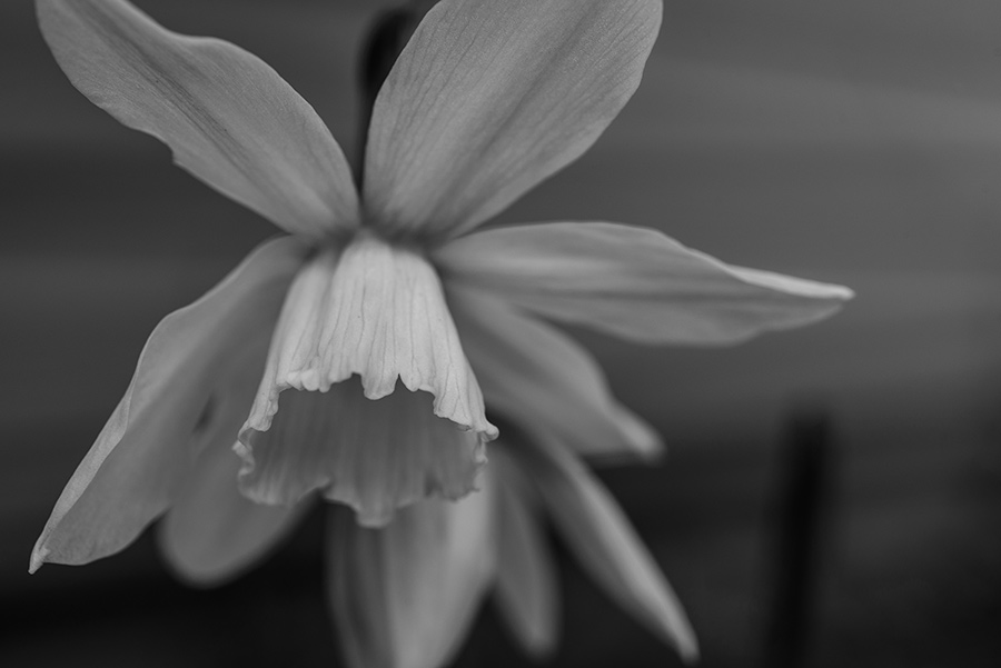 Narcissus jonquilla - 20 x 30 lustre print by Tanner Young