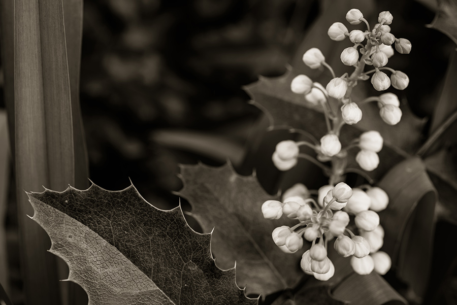 Mahonia aquifolium - 20 x 30 giclée on canvas (unmounted) by Tanner Young