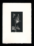 Columbine - Limited Edition Lithography Print
