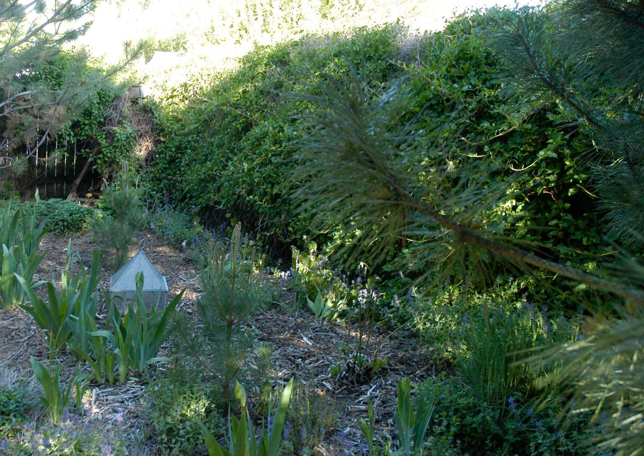 This photograph, also taken in May 2014, shows the silver lace planted on the other side of the pine...