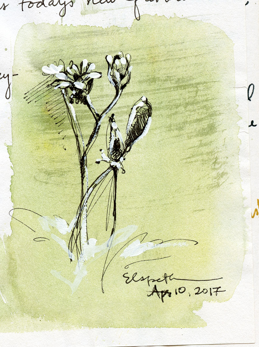 Flora study in pen, ink , gouacheand watercolor by Elspeth Young