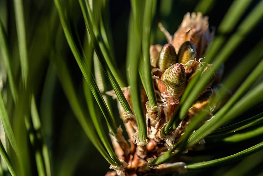 Pine in Spring
