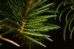 Fir Needles