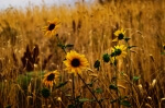 Wild Sunflower Patch - 8 x 12 giclée on canvas (pre-mounted)